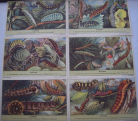 Old Dutch collector cards - Caterpillars complete series 1 - 6.  OXO Chromo 1950's 108x68mm G50 (15308)