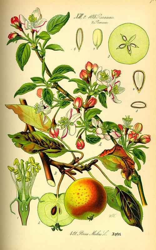 appel(pyrusmalus).jpg