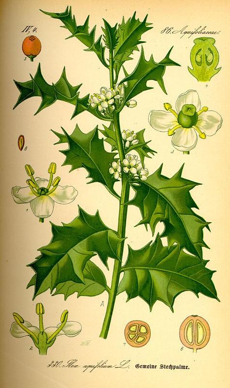 hulst(ilexaquifolium).jpg