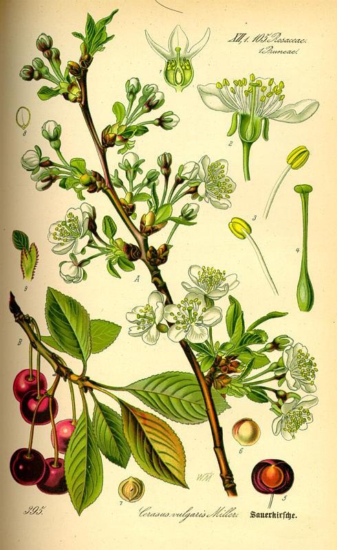kers,zure(prunuscerasus).jpg