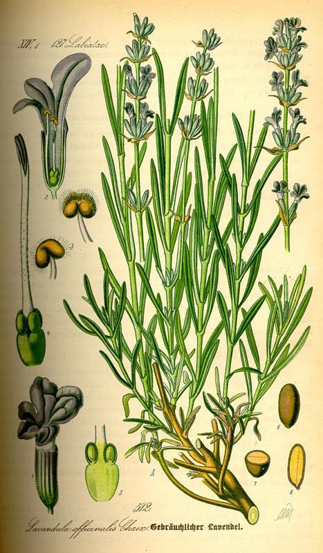 lavendel(lavandulaangustifolia).jpg