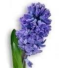 1 ltr. Opgietconcentraat Hyacint