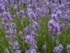 1 ltr. Lavendel opgiet