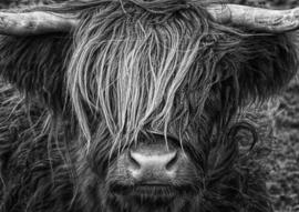 Schotse hooglander ZW4