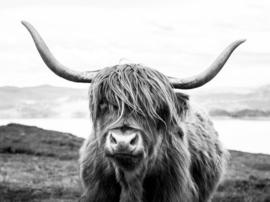 Schotse hooglander ZW1