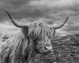 Schotse hooglander ZW5