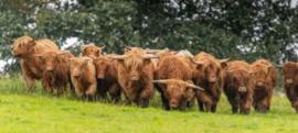 Schotse hooglander KL3