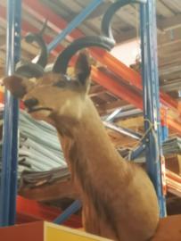 Antilope Impala