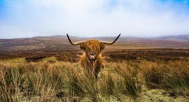 Schotse hooglander KL4