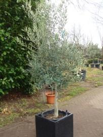 Olijfboom `Ostenta` stamomtrek 30-35cm, hoogte 150-175cm