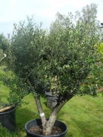 Olijfboom `Basso`, stamomtrek 40-50 cm, hoogte 150-175cm