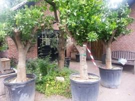 Sinaasappelboom (Citrus Sinensis) `Alto` stamomtrek 50-60cm