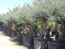 Olijfboom `Pesante` stamomtrek 200-220 cm, hoogte 200-250cm