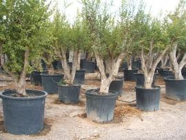 Granaatappelboom (Punica Granatum), 25-35 cm stamomtrek