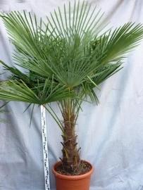 Palmboom `Trachycarpus Fortunei` stamhoogte 60 cm planthoogte 140-160 cm.