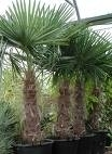 Palmboom `Trachicarpus Fortunei` stamhoogte 130-140 cm, planthoogte 210-240 cm
