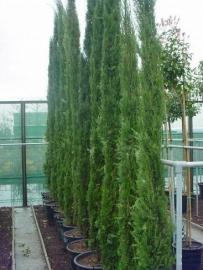Toscaanse Cipres (Cypres sempervirens) `Stricta`, hoogte 225-250 cm