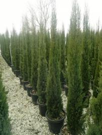 Toscaanse Cipres (Cypres sempervirens) `Stricta`, hoogte 200-220 cm