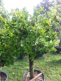 Mandarijnboom. (Citrus Reticulata) Stamomtrek 40-50cm, hoogte 150-175cm