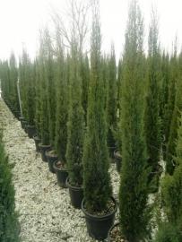 Toscaanse Cipres (Cypres sempervirens) `Stricta`, hoogte 175-200 cm