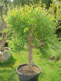 Granaatappelboom (Punica Granatum), 30-40 cm stamomtrek