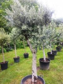 Olijfboom `Giant` stamomtrek 50-60 cm, hoogte 250-275cm