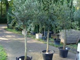Olijfboom `Tensione` stamomtrek 20-25cm, hoogte 175-200 cm