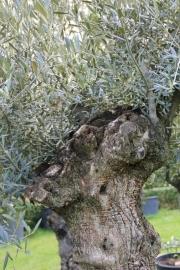 Olijfboom `Collosus XL`, stamomtrek 130-150cm, hoogte 200-250cm