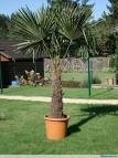 Palmboom `Trachicarpus Fortunei`  stamhoogte 90-100 cm, planthoogte 150-170 cm