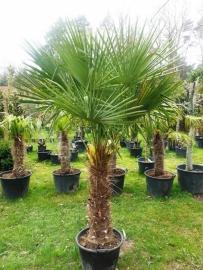 Palmboom `Trachicarpus Fortunei`  stamhoogte 100-120 cm, planthoogte 180-200 cm