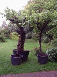 Wijnrank (Vitis Vinifera) hoog op stam (circa 60 jaar)