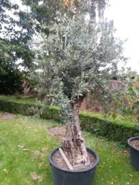 Olijfboom `Collosus`, stamomtrek 90-100cm, hoogte 200-225cm