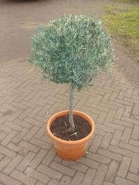 Olijfboom `Sfera` stamomtrek 8-10 cm, hoogte 50-70 cm