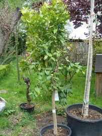 Citroenboom (Citrus Limonia) `Alto`.