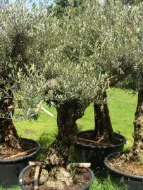Olijfboom Olea Europea `Collossus`