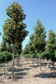 Magnolia Grandiflora `Gallisonensis` Halfstam potmaat 25L, stamomtrek 10-12cm, hoogte 200-250cm