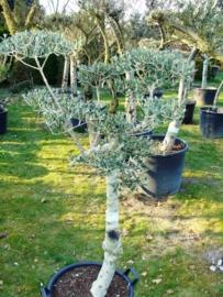 Olijfboom `Pom Pom` stamomtrek 30-35 cm, hoogte 125-140cm