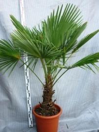 Palmboom `Trachycarpus Fortunei` stamhoogte 40-45cm, totale hoogte 100-125cm