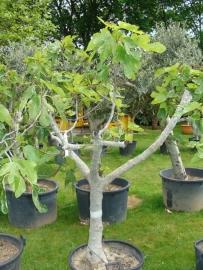 Vijgenboom (Ficus Carica) `Grande` hoogte 150-175cm stamomtrek 35-45cm