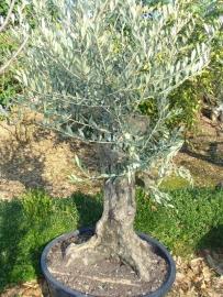 Olijfboom `Collosus`, stamomtrek 70-80 cm, hoogte 175-200cm