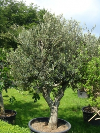 Olijfboom `Rispetto`, stamomtrek 60-70 cm, hoogte 250-300cm