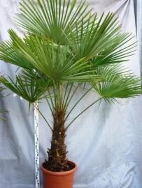 Palmboom `Trachycarpus Fortunei` stamhoogte 70-80cm, totale hoogte 160-180cm