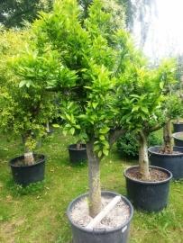Sinaasappelboom (Citrus Sinensis) `Alto` stamomtrek 40-50cm