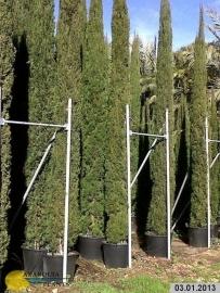 Toscaanse cipres (Cupressus sempervirens) `Stricta`, hoogte 275-300 cm