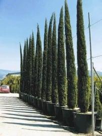 Toscaanse cipres (Cupressus sempervirens) `Stricta`, hoogte 300-325 cm