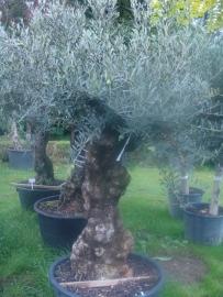Olijfboom `Collosus`, stamomtrek 80-90 cm, hoogte 175-200cm