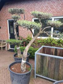 Olijfboom `Pom Pom` stamomtrek 35-45 cm, hoogte 170-180cm