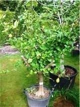 Citroenboom (Citrus Limonia) `Splendere`