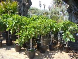 Vijgenboom (Ficus Carica) `Bello` stamomtrek 15-20 cm, hoogte 150-175 cm