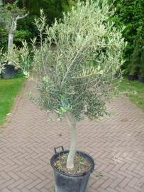 Olijfboom `Belleza` stamomtrek 20-30cm, hoogte 125-150cm